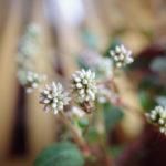 素朴でノスタルジックな植物【ヒメツルソバ@ブリキのジョーロ】