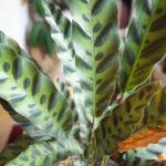 カラテア・インシグニス(ランキフォリア)の生長ぶり