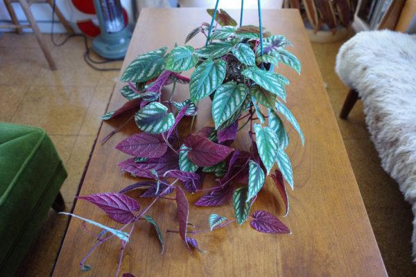独特の色気をもつ植物【シッサス・ディスカラー】