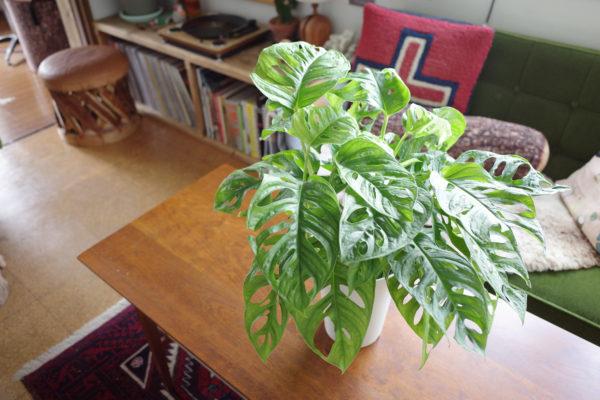 オザキさんで購入した植物【マドカズラ】