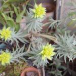ユーフォルビア・ミルシニテスの花と生長