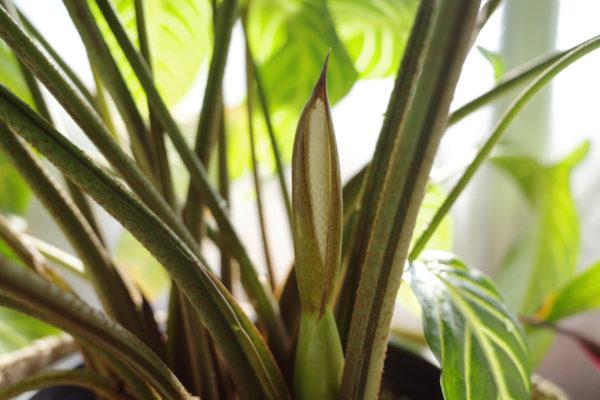 キサントソーマ(カラディウム)・リンデニーの花