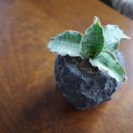 サンスベリア×溶岩でできた鉢