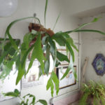 バスルームでも元気に育つ植物【ビカクシダ】