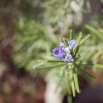 ローズマリー 花