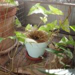 つる性植物をあえて床に【シンゴニウム・フレンチマーブル】