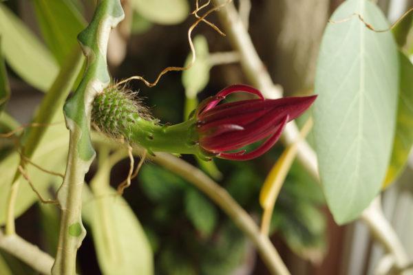 はじめてのフィッシュボーン・カクタスの花