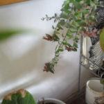 続・エスキナンサス・ラスタの花