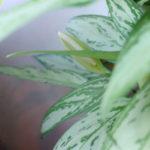 アグラオネマ シルバーキング 花